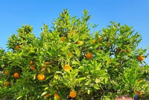 Oranges blog 2